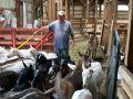 steve-herding-goat-in-barn