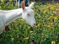 goat-in-lawn