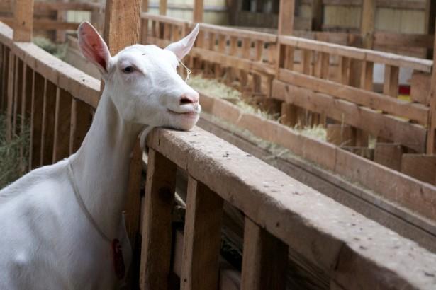 Goat Lively Run Barn