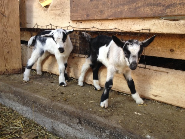 Kids Baby Goats Lively Run