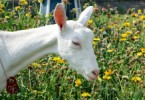 May 19 Goat Cuddling and Bottle Feeding Tour
