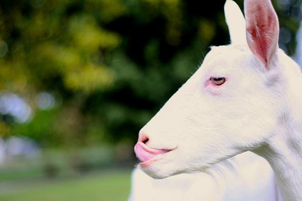 Lively Run Goat