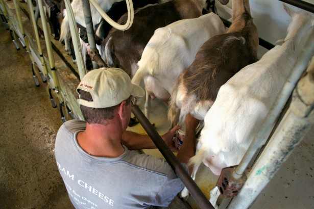 Steve Messmer Milking Goats Lively Run Dairy
