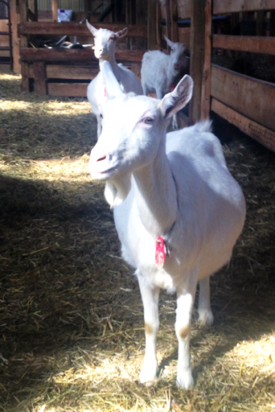 Pregnant Goat Lively Run Dairy