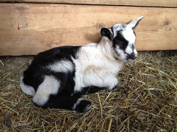 Kid Baby Goat Lively Run Dairy