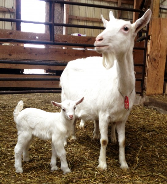 Goat Kid First Born Lively Run